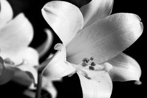 Lillies in B&W