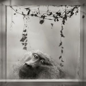 © Anne Berry, Baboon in Window, from the series Menagerie.  Third Prize, Single Image Category, LensCulture International Exposure Awards 2010