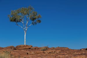 Lone tree on stone soil in Red Center, Australia