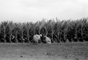 """""""Coco Plantation Workers"""" 1993"""