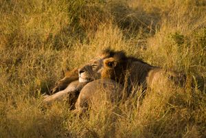 Lion brothers enjoying morning sun