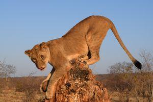 Mischievous Lion Cub
