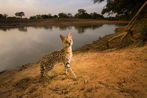 1st prize Nature Singles, © Michael Nichols, USA, National Geographic Magazine, Serval cat, Zakouma National Park, Chad