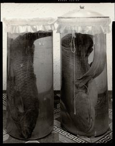 © Radek Skrivanek, Fish in formaldehyde, lost species of the Aral Sea