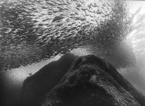 "Schooling Sardines Over Volcanic Reef  #3, ""Las Animas"" reef, Sea of Cortez, Mexico."