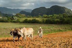 Preparin the Fields, Viñales.