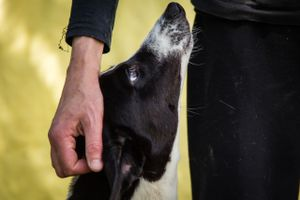 One of the rescued greyhounds with Lucie from GHIN.