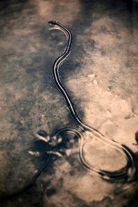 Ribbon Snake