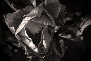 Natural Beauty_Petals