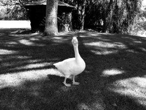 Goosewalk 4