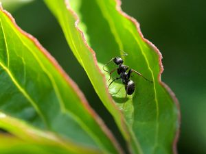 Ameise auf Päonienblatt