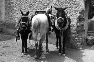 Horses and mule posing.