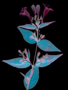Floret-scans #13, 2020