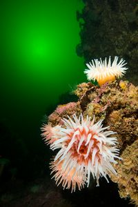 Northern red Anemones