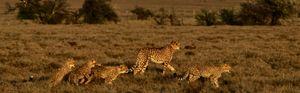 Nature and Cheetah