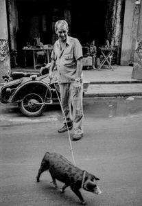 Pig in town , Cuba,  Havanna, Kuba, January 1996