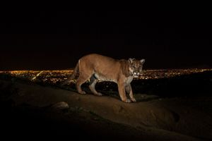 1st Prize Nature Stories. A cougar walking a trail in Los Angeles' Griffith Park is captured by a camera trap. To reach the park, which has been the cougar's home for the last two years it had to cross two of the busiest highways in the US. They are increasingly being seen in and around towns and cities, including Los Angeles and in the Hollywood Hills © Steve Winter, USA, for National Geographic