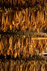 Drying Tobacco Leaves, Viñales.