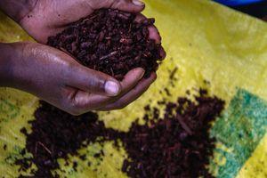 Hands Holding Madder Root, Musanze Rwanda Africa