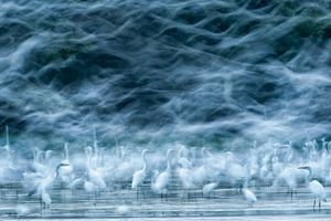 Flying Egrets. Great Egrets in the tidal area of the Danube in Hungary.<br>Honorable Mention Nature© Réka Zsirmon/National Geographic Photo Contest