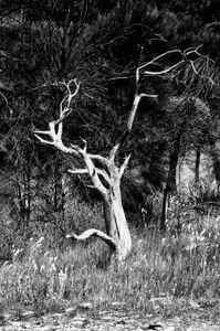 Dead Tree at Korralocking