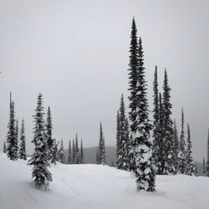 Winter Trees, Revelstoke, British Columbia