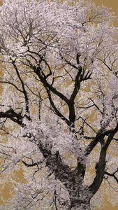 Sakura no4