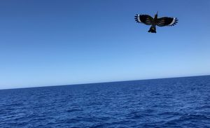 At Sea. Central Mediterranean. A lone hoopoe (Upupa Linnaeus) in the middle of the sea.
