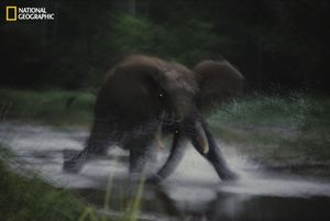A female elephant charges toward the photographer near Dzanga Bai. From the October 125th anniversary issue of National Geographic magazine © Michael Nichols/National Geographic