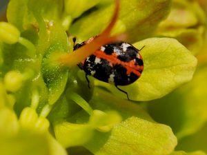 Teppichkäfer in Ahornblüte Pollen sammelnd