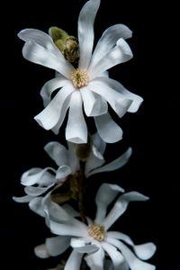 The Masters - Star Magnolia