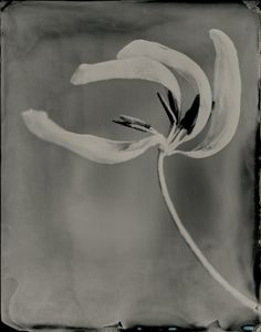 Tulipa Alba
