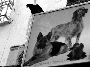 The Pigeon and the Three Dogs