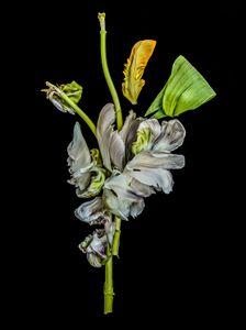 Fallen Tulipa 2018