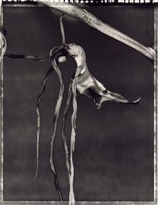 46 Brassia Rex 'Pajaro' No. 3 © Frazier King