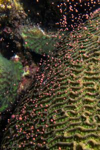 Coral Spawning