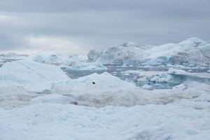 Polar fox between Rodebay Ilulissat
