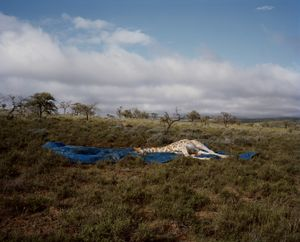 giraffe, blue sheet, eastern cape, south africa-from the series 'hunters'-David Chancellor