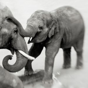 Elephants Playing © Anne Berry