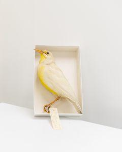 Leucistic Meadowlark specimen