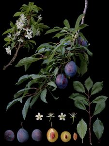 Prunus domestica L. 'Valor'