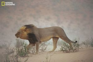 """A lion pushes through a dust storm in Kalahari Gemsbok National Park, South Africa. The weather had worsened to the point that it didn't notice the photographer's approach. """"I shot three rolls of him and just one picture turned out—serendipity,"""" says Johns. From the October 125th anniversary issue of National Geographic magazine © Chris Johns/National Geographic"""