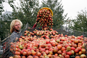 Pouring the apples onto a rack that gets rid of unwanted twigs, leaves and dirt