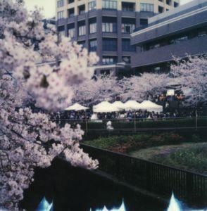 Tokyo Cherry Blossoms 7