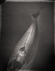 Atlantic Mackerel, Scomber scombrus