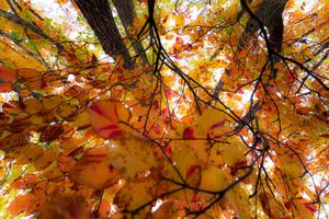 Shower of autumn leaves