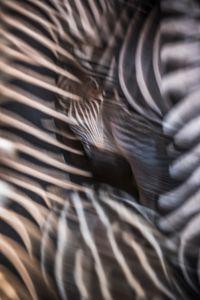 Zebra Tones III