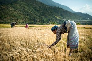 The wheat harvest.