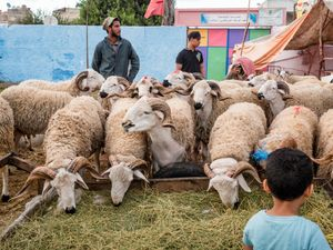 Sheep sellers and a kid