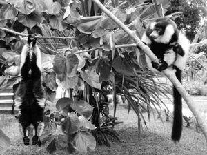 Playing Lemurs